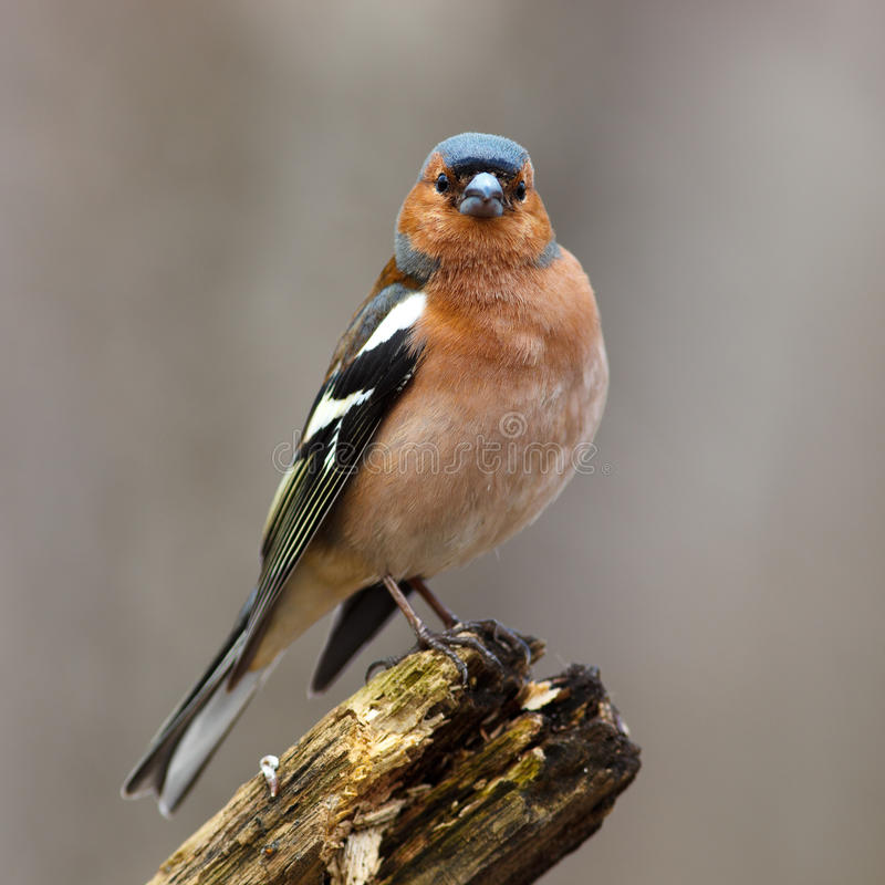 Free Chaffinch (Fringilla Coelebs), Male Stock Images - 13760714