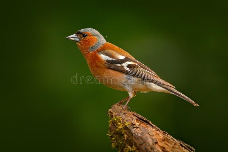Chaffinch, Fringilla coelebs, orange Singvogel, der auf dem netten grünen Flechtenbaumast mit, kleiner Vogel im Naturwald-habi si stockfotografie