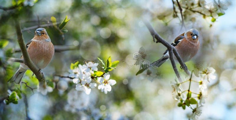 Chaffinch-Fringilla coelebs Vögel lizenzfreies stockfoto