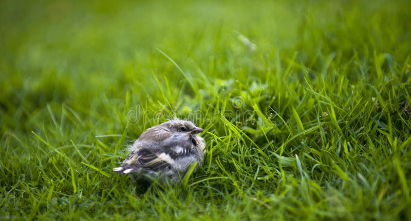 Chaffinch-gewordener Vogel (Fringilla coelebs) lizenzfreies stockfoto