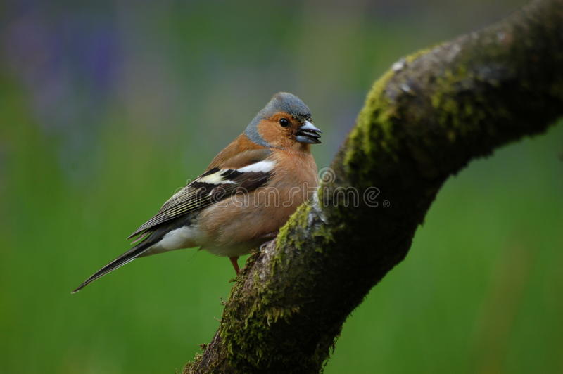 Chaffinch (Fringilla celebs) by Loch Awe stock photo