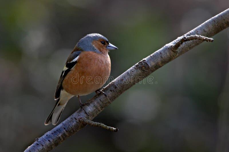 Chaffinch mâle photographie stock libre de droits