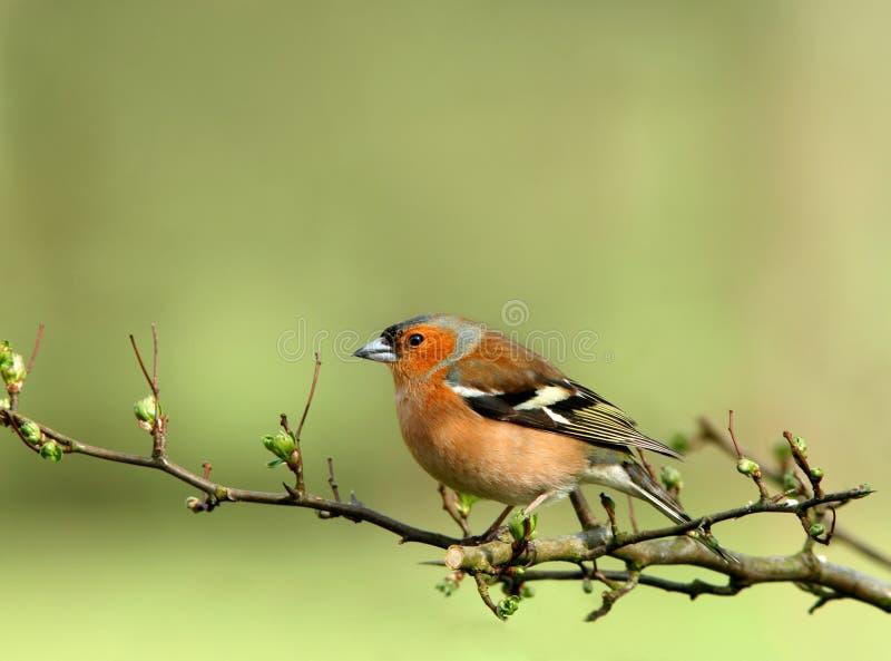 Chaffinch maschio immagini stock libere da diritti