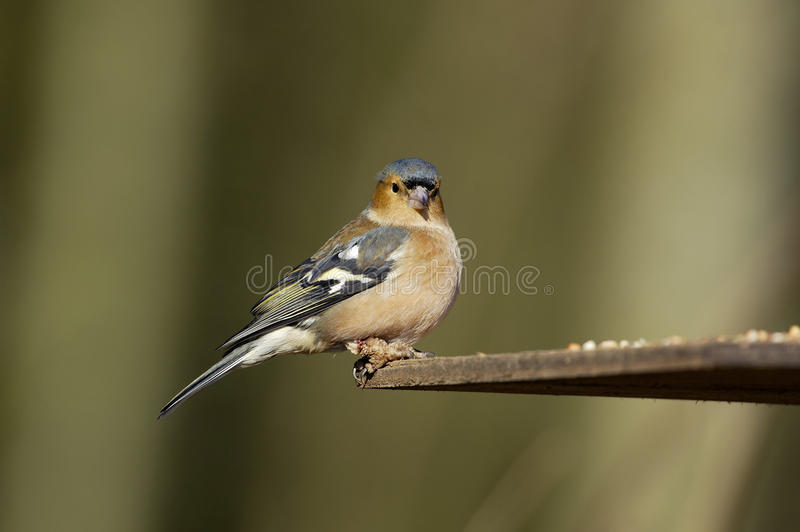 Chaffinch masculino imagem de stock royalty free