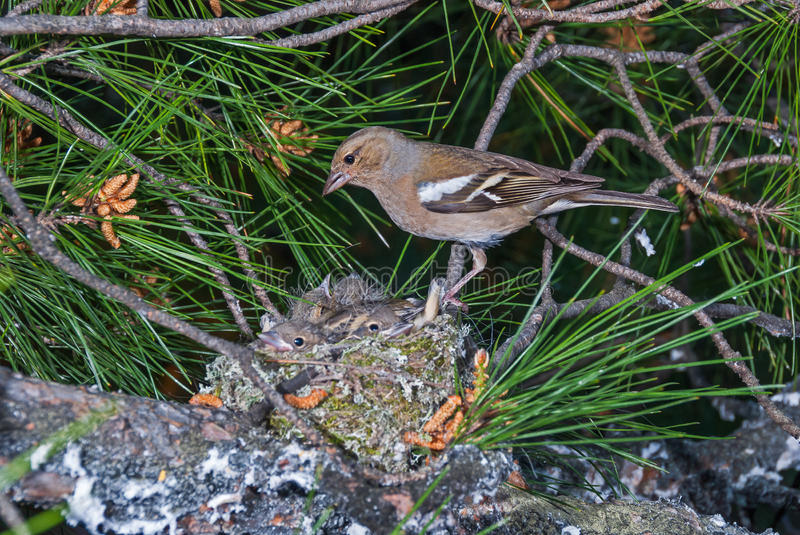Download Chaffinch At Nest With Chicks Stock Image - Image of leaves, lichen: 62088405