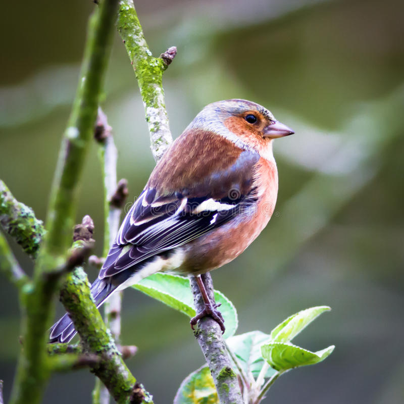 Chaffinch perched on branch stock photo