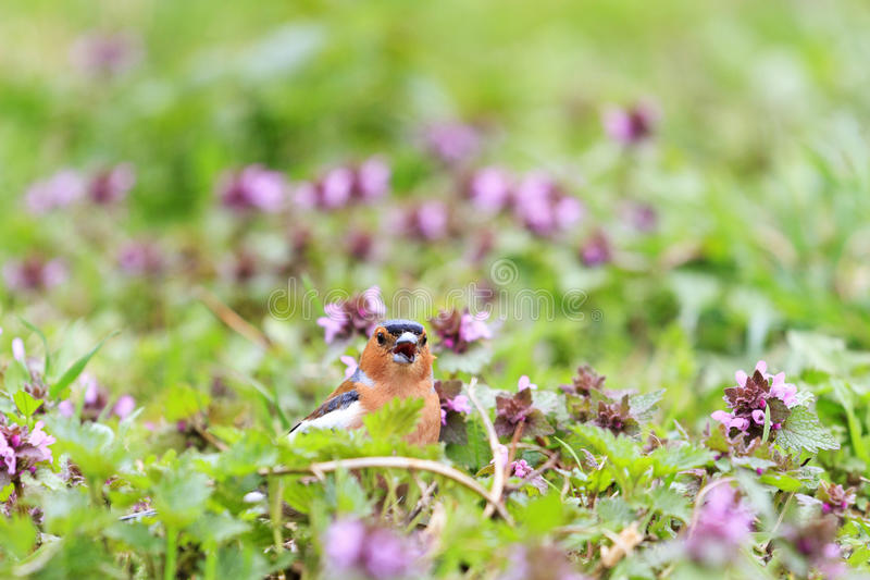 Chaffinch Singing The Song Of Pink Flowers,singing Birds, Spring Singing,  Beautiful Picture