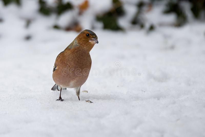 Chaffinch in the snow stock photos