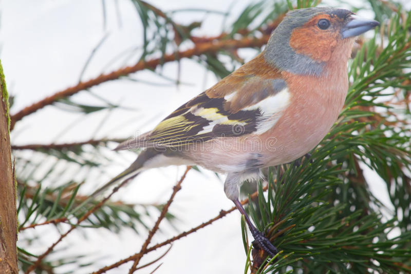Download Chaffinch stock photo. Image of spring, season, cute - 32000686
