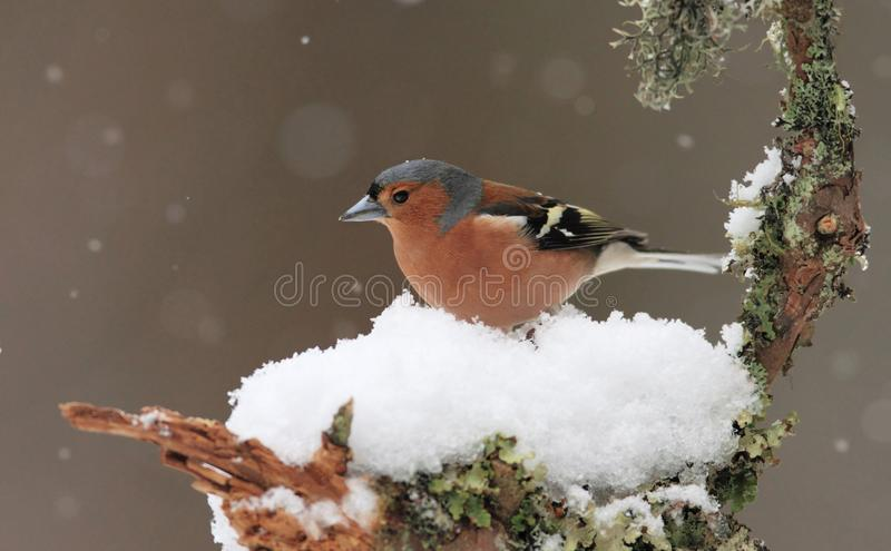 Download Chaffinch in Winter stock photo. Image of landscape, birds - 31352434