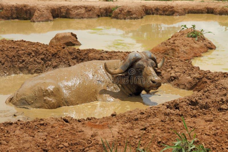 Chafurdando o búfalo do cabo foto de stock royalty free
