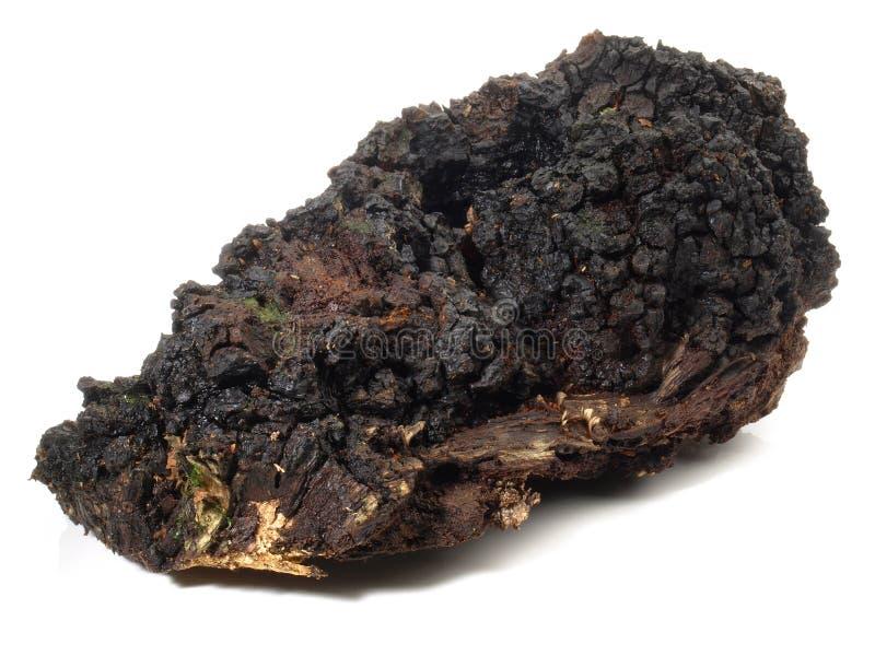 Chaga采蘑菇-健康营养 免版税库存照片