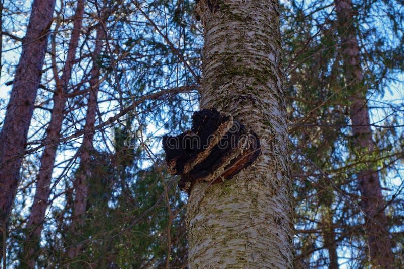 Chaga champinjon på björkträd arkivfoton