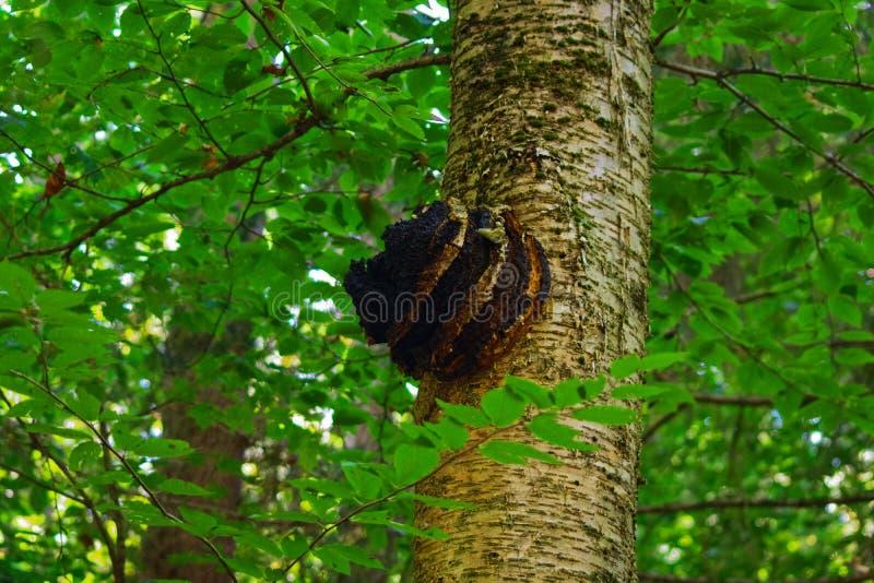 Chaga champinjon som växer på ett björkträd arkivfoto