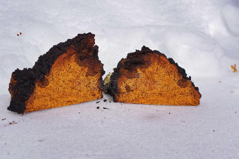 Chaga champinjonstora bitar som ligger på snön arkivfoto