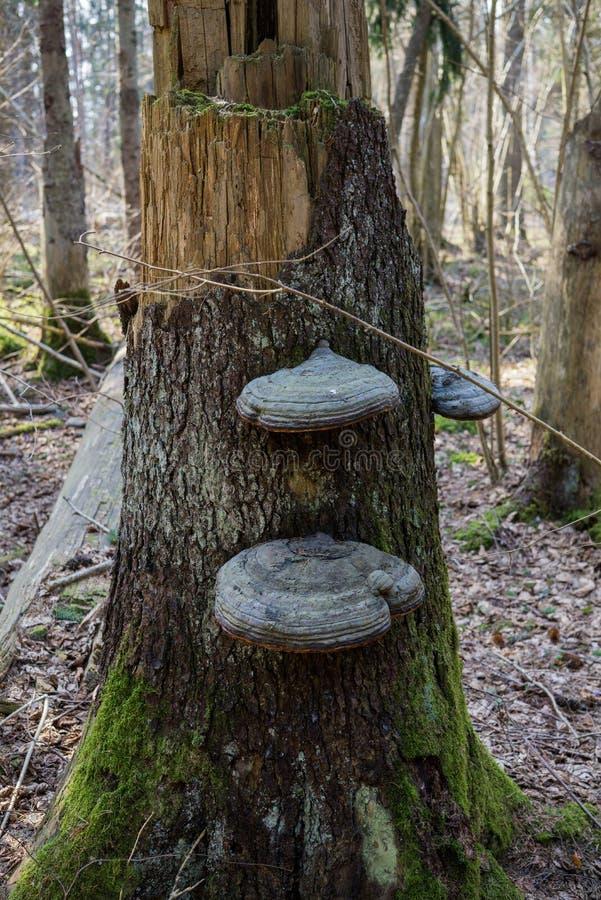 Chaga-Pilz angebaut auf einem defekten Baum im Wald lizenzfreie stockfotos