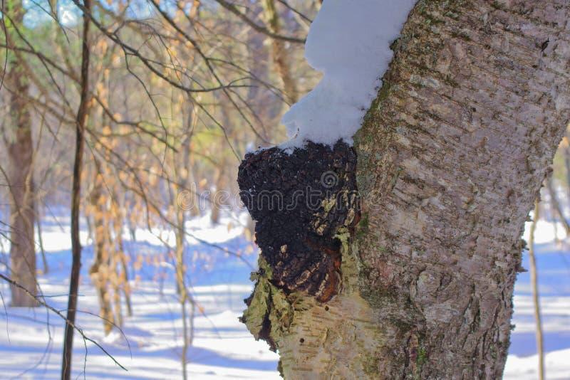 Chagapaddestoel en Thee in de Adirondack-Wildernis stock fotografie