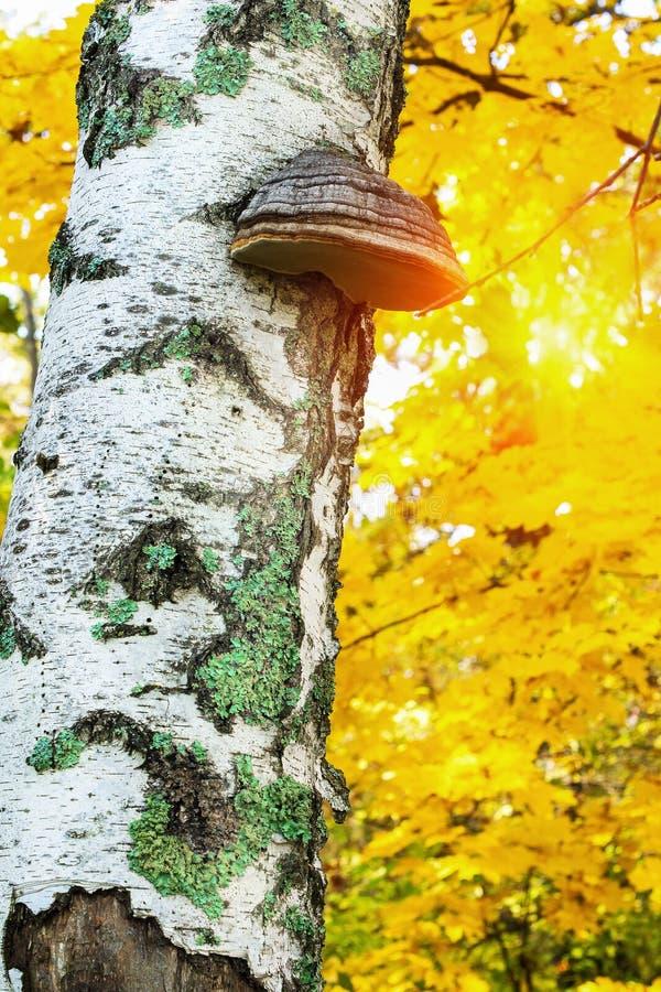 Chagapaddestoel Inonotus obliquus op de boomstam van een berkboom op een achtergrond van geel de herfstgebladerte Autumn Landscap royalty-vrije stock afbeeldingen