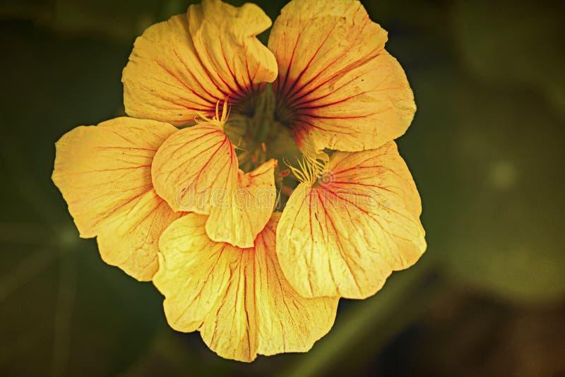A chagas amarela floresce o close-up imagem de stock