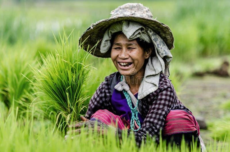 Chaimai, Tailandia 23 de julio en el pueblo del país, granjeros es cosecha foto de archivo