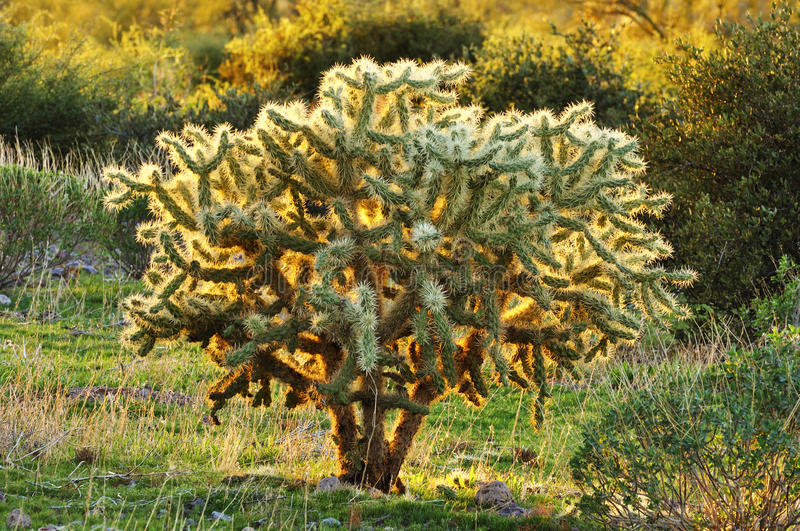 Chain Fruit Cholla royalty free stock photography