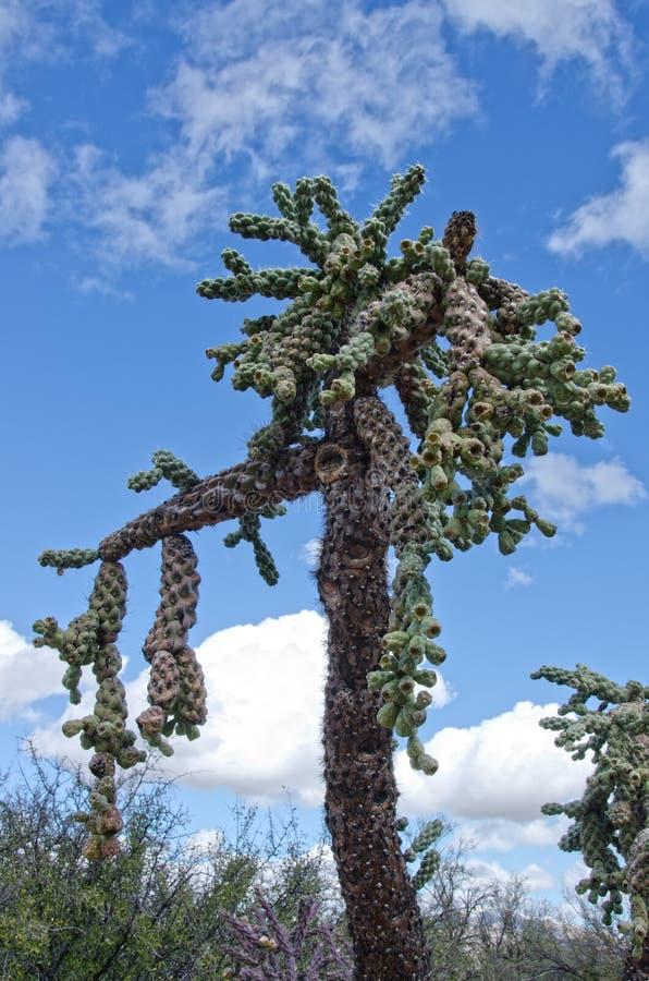 Chain Fruit Cholla Cactus royalty free stock photo
