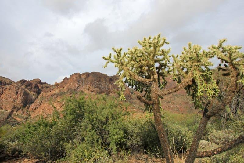 Chain Fruit Cholla cactus in Organ Pipe Cactus National Monument, Arizona, USA stock image