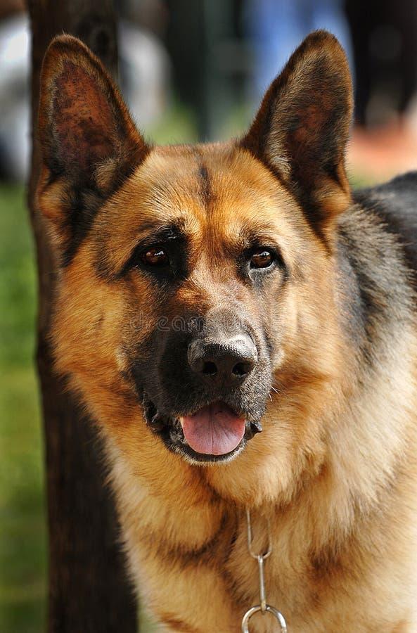 chain kragetyskvakthund royaltyfri foto