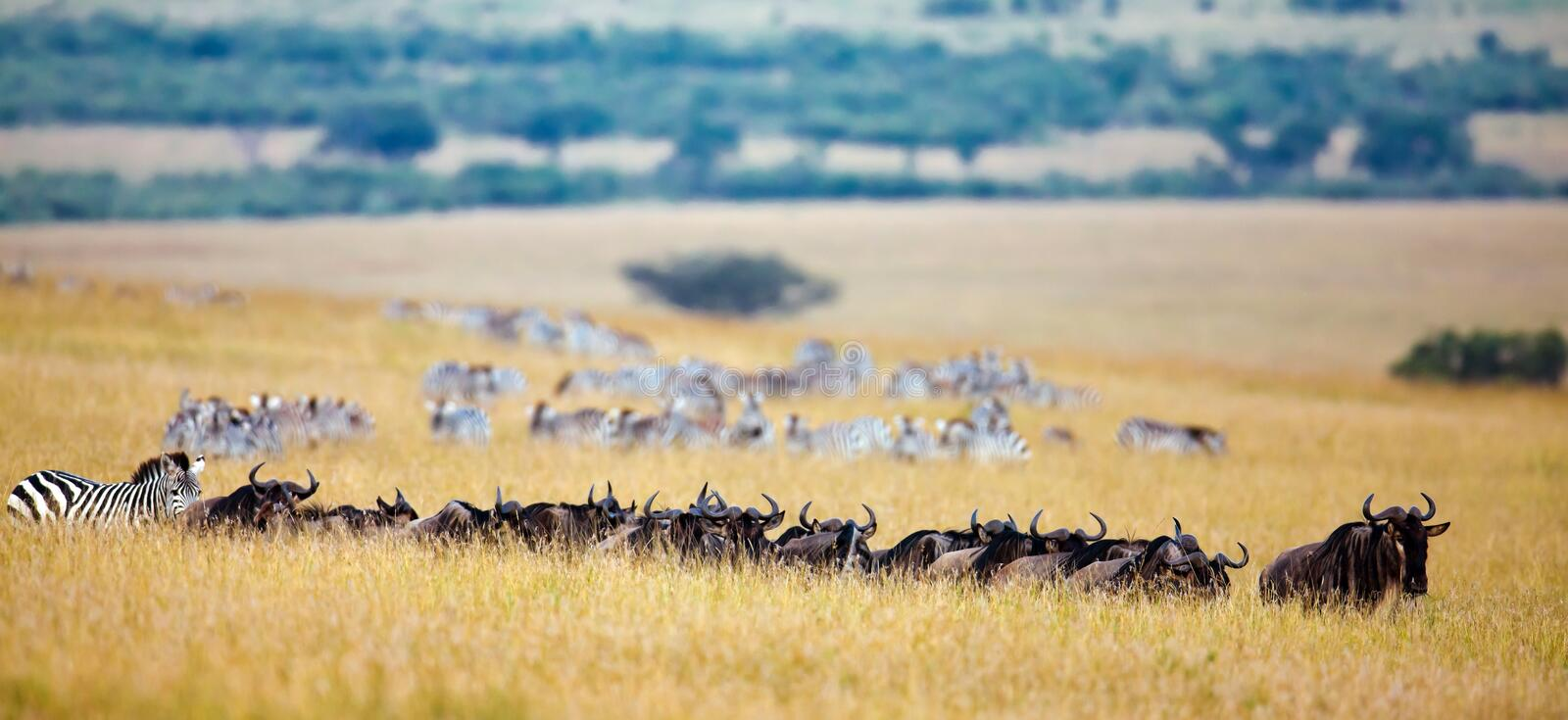 The Chain Of Wildebeest And Zebras Migrate To The Royalty Free Stock Photography