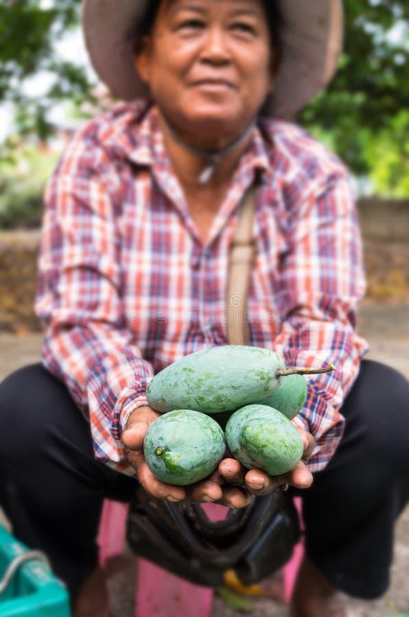 CHAINAT, THAILAND - 12. APRIL 2015: Nicht identifizierter Gärtner, der an Hand die frische Mango hält stockbild