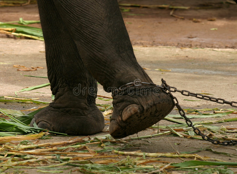 Chained elephant royalty free stock image