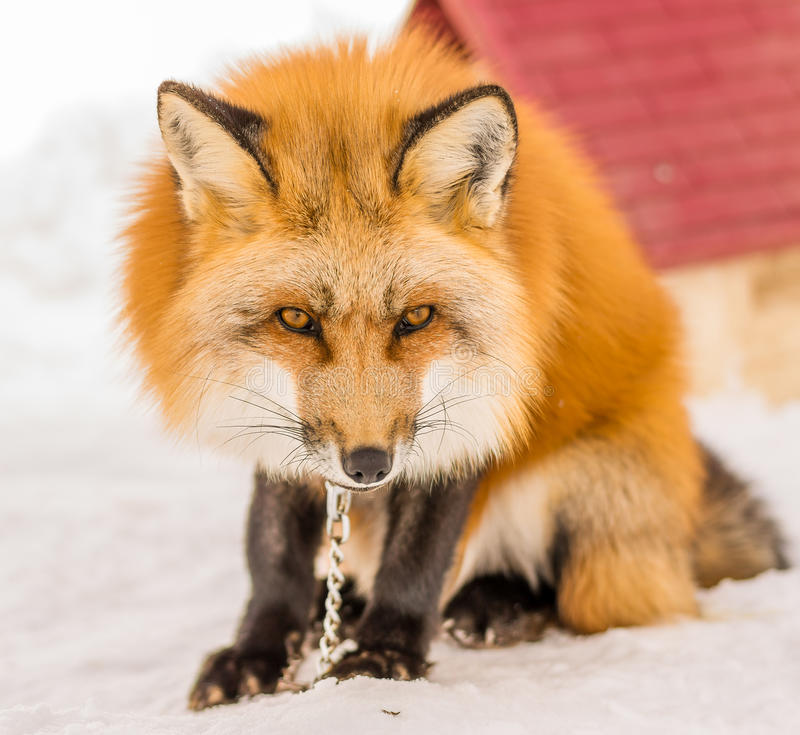 Chained Fox. A fox is chained near a dog house during Winter in Japan royalty free stock photo