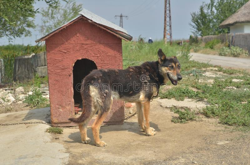 Dog shedding its hair, standing near kennel stock photo