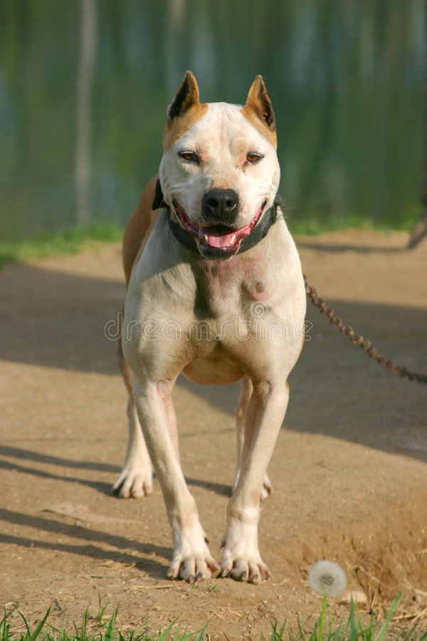 Chained Pit Bull stock photography