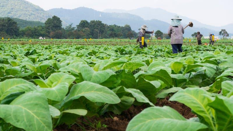 Chaingrai - 11月29 :未认出的工作者铲起土壤 库存图片