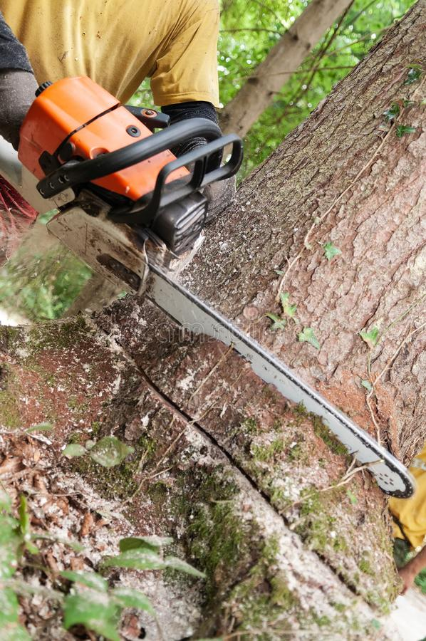 Chainsaw being held by forestry worker making a cut into a tree. Closeup of chainsaw being held by forestry worker making a wedge cut into a spruce tree stock image