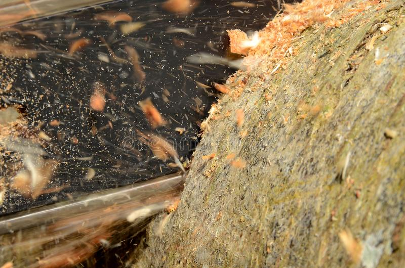 Chainsaw close up. Chainsaw cuts trough a log while chips fly royalty free stock photo