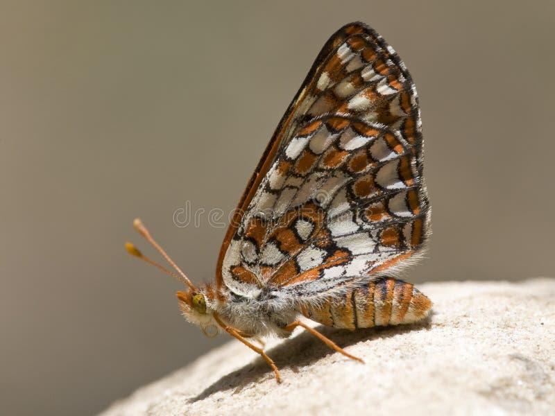 Chalcedon Checkerspot, Euphydryas-chalcedona stock afbeelding