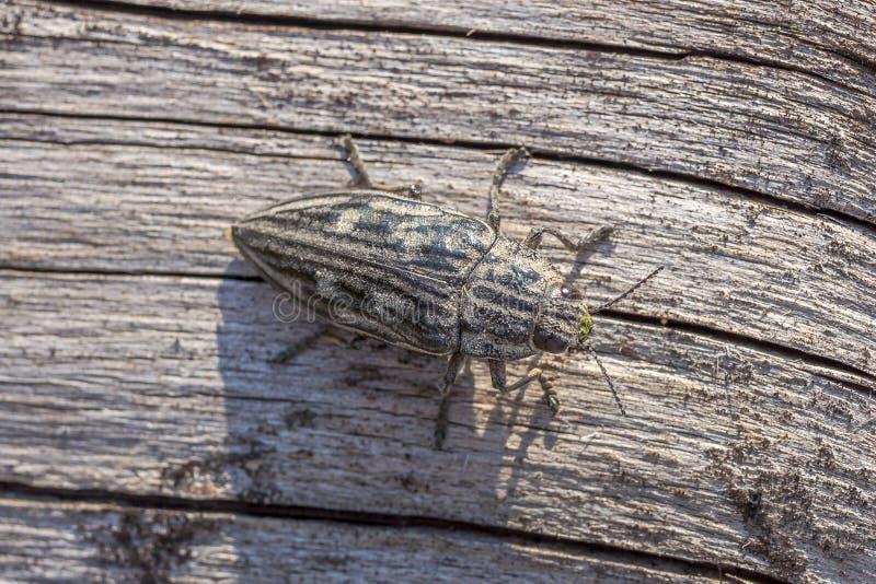 Chalcophora Mariana en un tronco seco del pino Opinión superior macra un escarabajo de Buprestis Mariana que se sienta en un tron imágenes de archivo libres de regalías