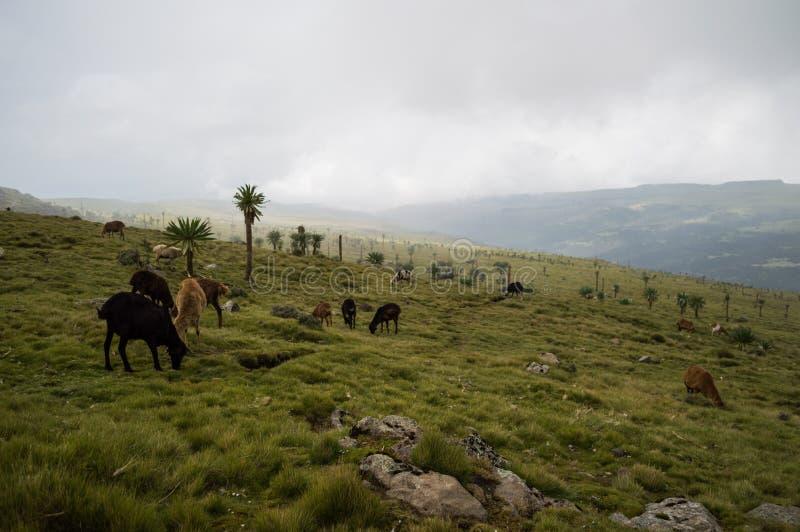 Chaleira, carneiro nas montanhas de Simien, Etiópia foto de stock royalty free
