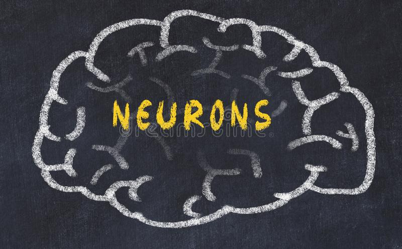 Chalk drawing of human brain with inscription neurons stock photo