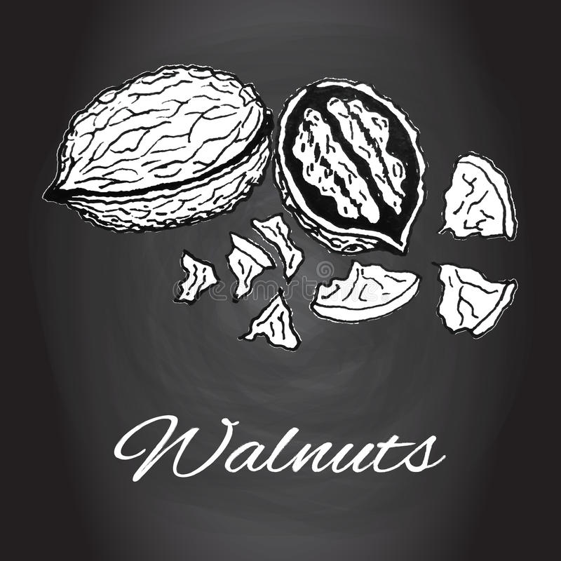 Chalk drawn sketch walnuts vector Black and white kitchen art vector illustration