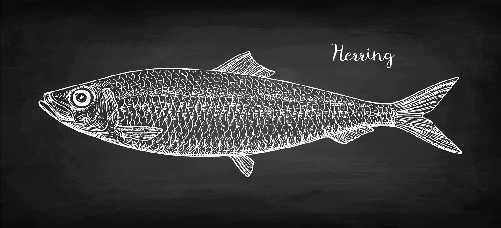 Chalk sketch of herring. Chalk sketch of herring on blackboard background. Hand drawn vector illustration. Retro style vector illustration