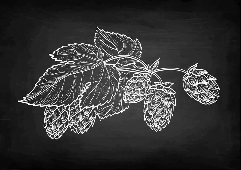 Chalk sketch of hops. Chalk sketch of hops on blackboard background. Hand drawn vector illustration. Retro style stock illustration