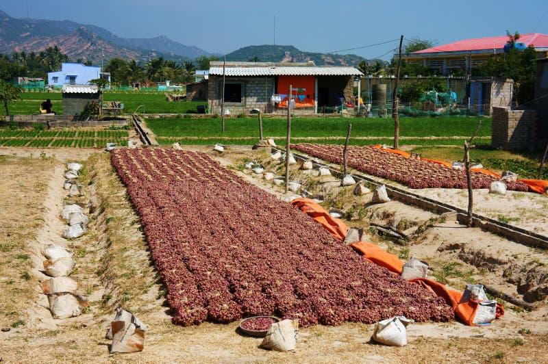 Chalotas, cebola pequena na exploração agrícola imagem de stock