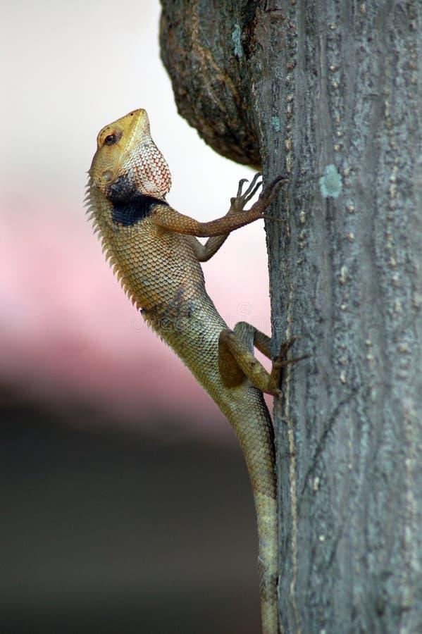 Chamäleon auf Baum stockfotos