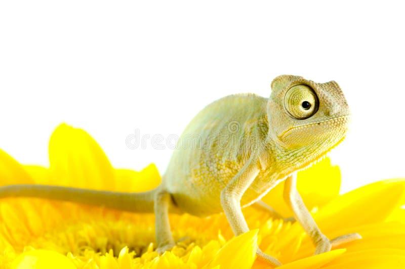 Chamäleon auf Blume. lizenzfreies stockbild
