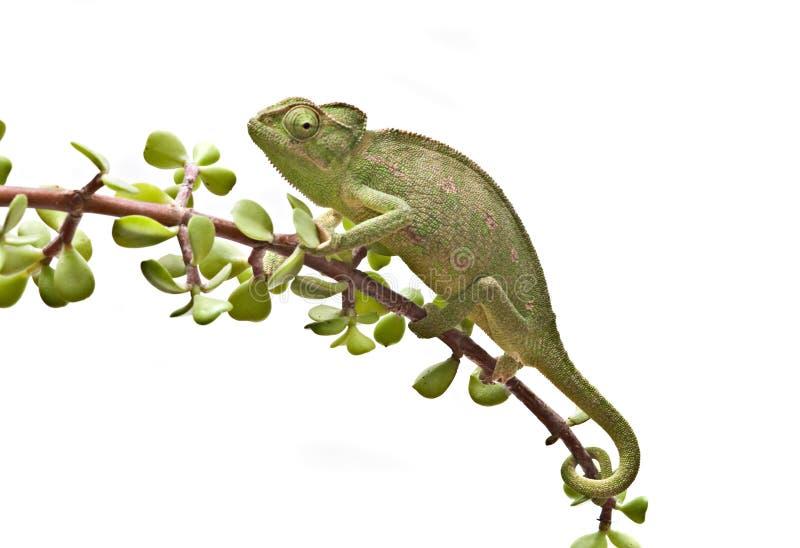 Chamäleon auf einem Zweig stockfotos