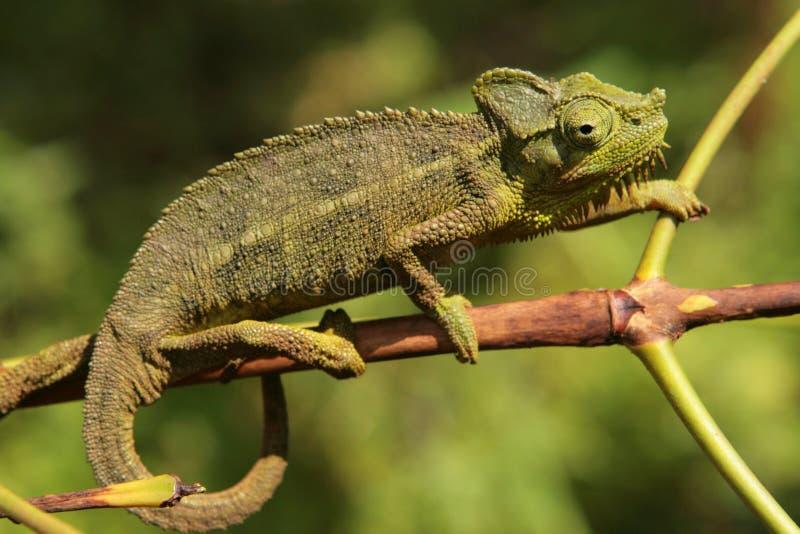 Chamäleon auf Zweig stockfotos