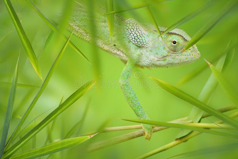 Chamäleon in einem grünen Bambusdickicht lizenzfreie stockbilder